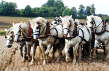 Heavy horses ploughing match